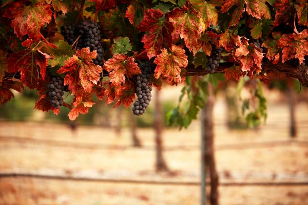 Виноградники Аргентина