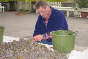 Отбор винограда для Trokenbeerenauslese