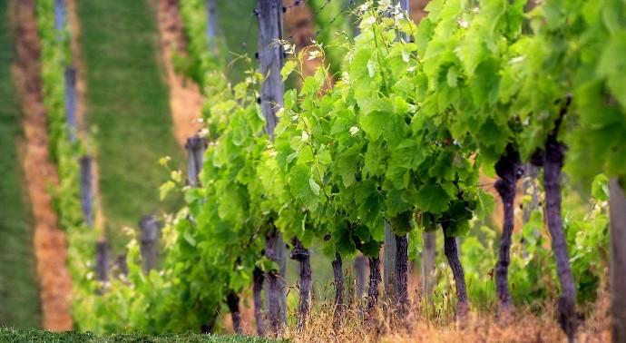 Настоящие виноградники